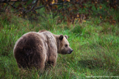 Brown bear in springtime